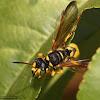 Weevil Wasp (female)