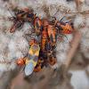 Large Milkweed Bugs