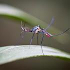 Toxorhynchites Mosquito