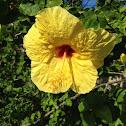 Ma'o Hau Hele - Yellow Hibiscus