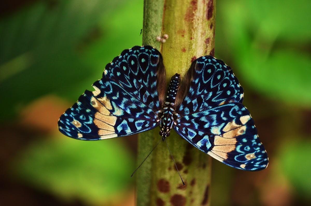 Cracker butterfly