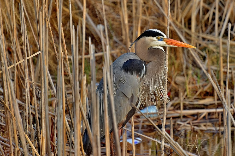 Big Blue by Dave Knapp - Animals Birds ( blue heron,  )