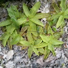 Common butterwort - Gemeines Fettkraut