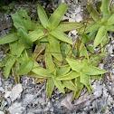 Common butterwort - Gemeines Fettkraut