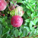 Large cranberry