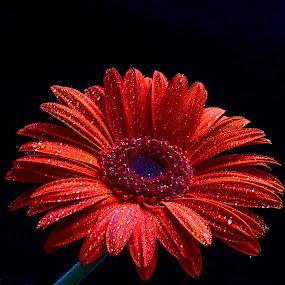 by Cezar Pegoraro - Flowers Single Flower