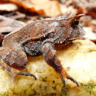Smooth Horned Frog