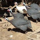 Chicken DÁngola