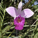 Bamboo Orchid Bambus Orchidee(German)