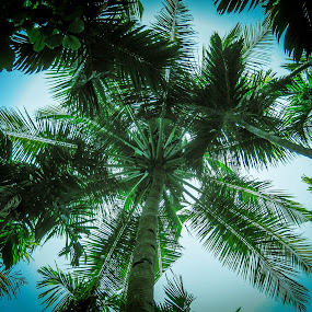 Rising high by Brijesh Meena - Nature Up Close Trees & Bushes ( tree, jungle, goa, coconut tree, india, , renewal, green, trees, forests, nature, natural, scenic, relaxing, meditation, the mood factory, mood, emotions, jade, revive, inspirational, earthly )