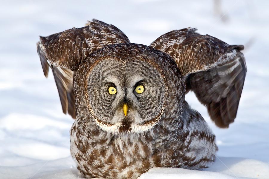 In Yo' Face by Herb Houghton - Animals Birds ( wild, bird of prey, great gray owl, owl, herbhoughton.com, raptor )
