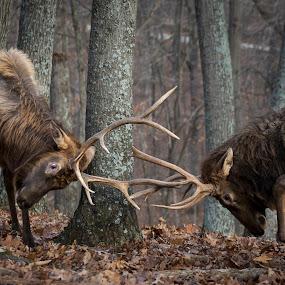Dueling 101 by Andrea Silies - Animals Other Mammals ( park, elk, wildlife, bull elk, leaves, bull, woods, winter, antler, nature, rut, sparring, trees, fighting, lone elk, animal,  )