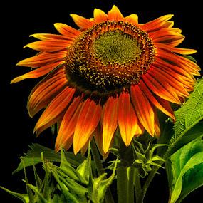 Orange Sunflower by Gary Pope - Flowers Single Flower ( orange, single flower, sunflower, high contrast, flower )