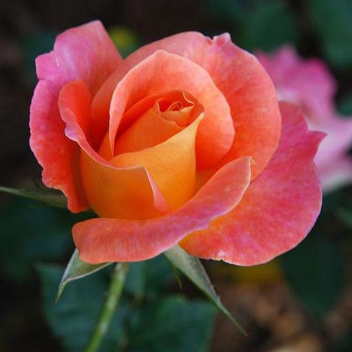 ดอกกุหลาบแทนค่าแห่งรักแท้ LOGO-APP點子