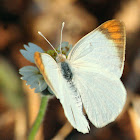 Bushveld Orange Tip butterfly