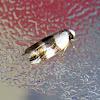 Banded Case Moth