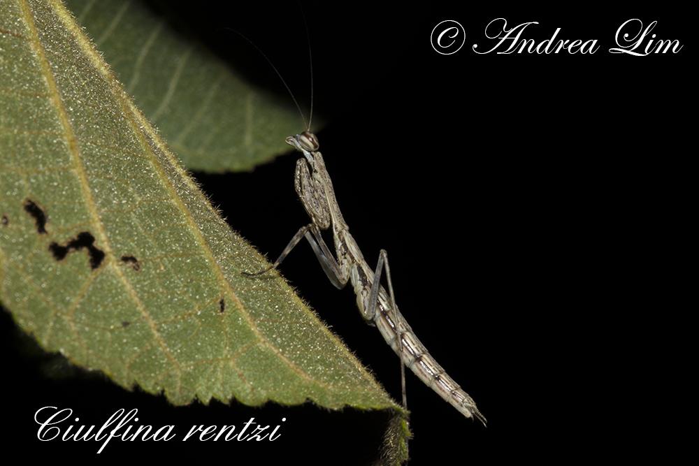 Rentz's Praying Mantis