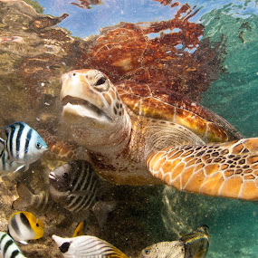 diner time by GUILLAUME FUNFROCK - Animals Sea Creatures ( reflection, turquoise, mouth, fish, turtle,  )