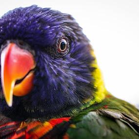 Lorikeet 1 by Nicole Nichols - Animals Birds ( bird, lorikeet bird, lorikeet,  )