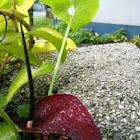 Perennial Dwarf Voodoo Lily