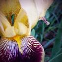 Iris/Flag