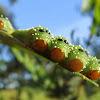 Longtail sawfly (larvae)