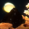 Painted Frogfish - Black
