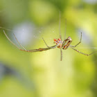 Festive Vlei Spider