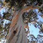 Eucalyptus (Eucalipto)