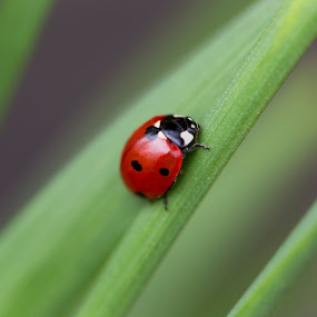 Ladybird by Manuela Kägi - Animals Insects & Spiders ( luck, bug, ladybird, insect )