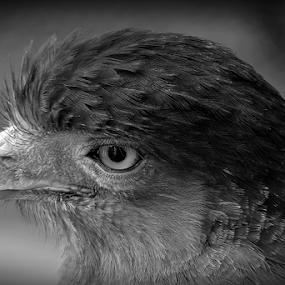 The Hawk's eye. by Debasish Naskar - Black & White Animals