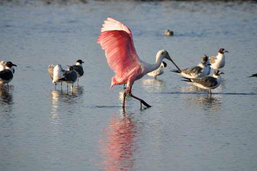 A Roseate Spoonbill on Galveston Bay, Texas.