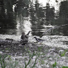 Mourning Dove and Spotted Sandpiper