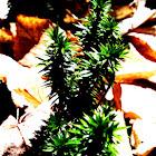 Common or Running Club Moss, Ground Pine