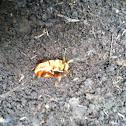 Green June Bug