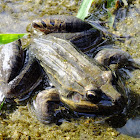 Ranidae