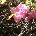 Pink, weak leaves with green leaves
