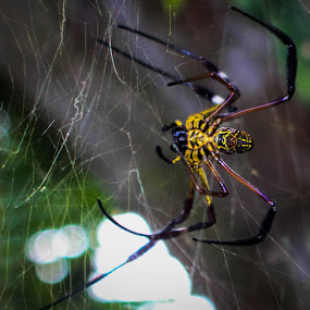 Hornet Spider by Muhammad Syuhada - Animals Insects & Spiders