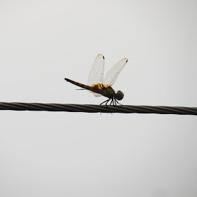 Dragon Fly by Sayan Banerjee - Animals Insects & Spiders