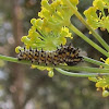Anise Swallowtail Butterfly Caterpillars
