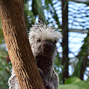Brazilian Porcupine (Prehensile-tailed Porcupine)