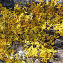 maritime sunburst lichen, yellow scale