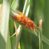 Pacific Cicada Killer