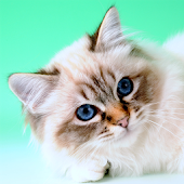 Cat Sounds And Breeds List Android APK Download Free By Luminous Apps