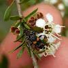 Checkered Beetle (Clerid Beetle)