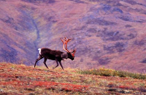 caribou-Denali-Alaska - A caribou wanders across fields in Denali National Park, Alaska.