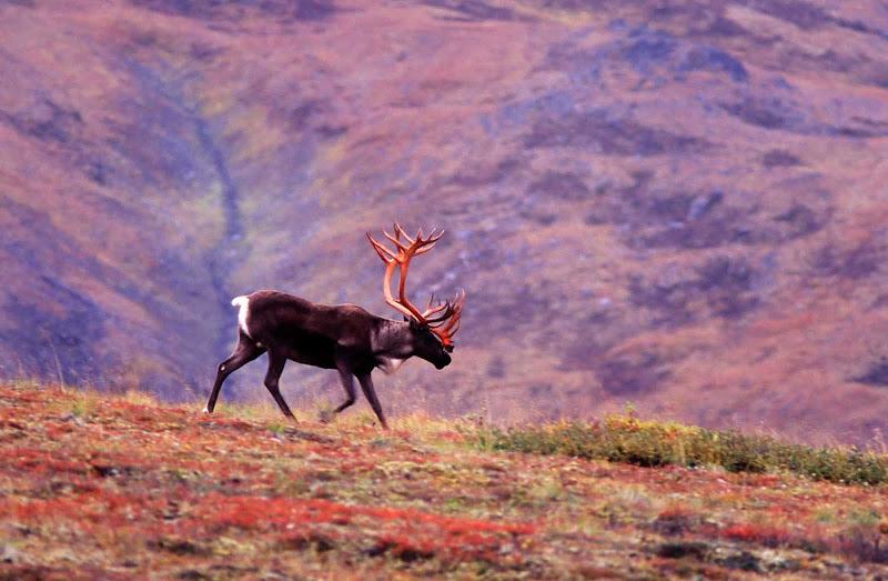 A caribou wanders across fields in Denali National Park, Alaska.