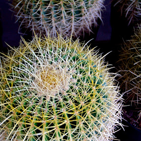 Cacti by Robert Remacle - Nature Up Close Other Natural Objects (  )