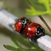 Spottless Lady Beetle