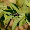 sphecip wasp